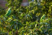 Indian Ringnecked Parakeet parrots on the tree