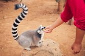 ring-tailed lemur feeding