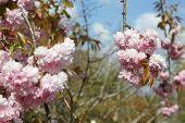 flowering cherry tree (prunus avium)