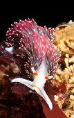 An underwater animal called a nudibranch crawls over a reef while feeding on algae. These snails are