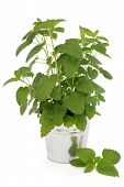 picture of citronella  - Lemon balm plant in an aluminium pot over white background - JPG