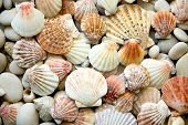 pic of snail-shell  - Background of sea shells - JPG