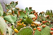 Opuntia ficus-indica cactus at the canary in Tenerife, Spain
