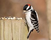 foto of woodpecker  - A male downy woodpecker perched on a wooden post with bird seed - JPG