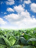 picture of hlorofil  - green kale field - JPG