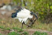 stock photo of fluffing  - A Sacred Ibis fluffing his feathers out - JPG