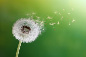 stock photo of fragile  - Dandelion seeds in the morning sunlight blowing away across a fresh green background - JPG