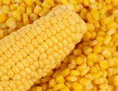 Corncob on a bulk of corn grains.