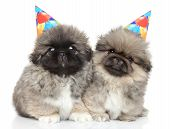 Pekingese Puppies In Party Cones