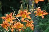 stock photo of day-lilies  - Day lilies are rugged - JPG