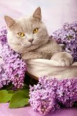 picture of rare flowers  - British kitten rare color and lilac flowers - JPG