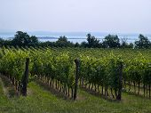 Vineyard Landscape In Italy