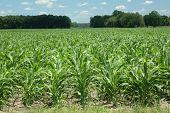 Corn_rows