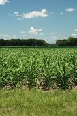 Corn_rows_2