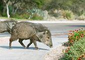 2 Wild Pig Javelinas Hogs