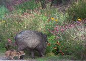 stock photo of wild hog  - Javelinas are members of the peccary family - JPG