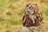 foto of screech-owl  - A profile of a little red phased screech owl - JPG
