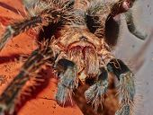 Portrait Of Brachypelma Albopilosum Tarantula Spider Eating Cricket Macro