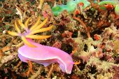 Nudibranch or Sea Slug: Hypselodoris apolegma