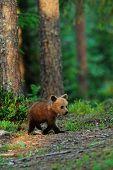 Brown Bear Cub Walking In Forest