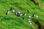 Puffins Colony, Iceland