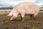 picture of stall  - Side view of a big pig on a farm - JPG