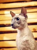 Peterbald Cat on Hayloft