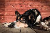 image of 11 year old  - An Alaskan Husky called Ask - JPG