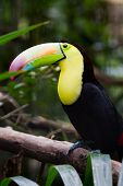 stock photo of toucan  - closeup of a keel billed toucan in the rainforest of Belize - JPG
