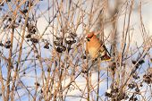 Waxwing In The Winter