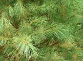 Evergreen Cedar Close-up