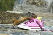 Columbian Squirrel w/ Sneaker
