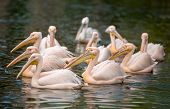 flock of white pelicans on water  (Pelecanus crispus)