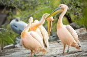 Flock of white pelican together  in nature