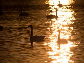 Sailing swans in the backlight