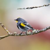 Perched Warbler