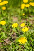 tussilago flower on field