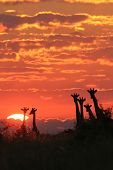 Giraffe Sunset - Wildlife Background from Africa - Shine of Color and Harmony of Freedom