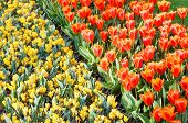 Spring Red Tulips And Yellow Crocuses (macro)