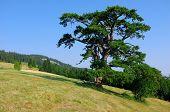 Holy Pine is Kamena Gora symbol, Serbia