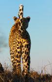 Leopard Standing In Savannah