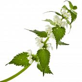 stock photo of nettle  - Nettle flowering  isolated on white background - JPG