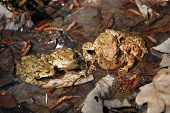 Toads family