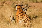 pic of tiger cub  - An affectionate moment between a Bengal Tiger and her cub