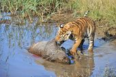 pic of tigress  - A young tiger having its well - JPG