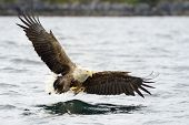 White-tailed Eagle catching fish. poster