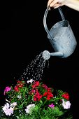Water can watering flowers on black background