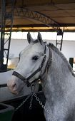 pic of lipizzaner  - Closeup of a head of the white Lipizzan horse in stabling - JPG