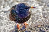 European Starling Common Starling