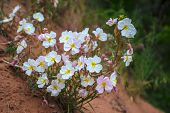 stock photo of primrose  - Oenothera pallida pale evening-primrose Wild flowers in the canyon